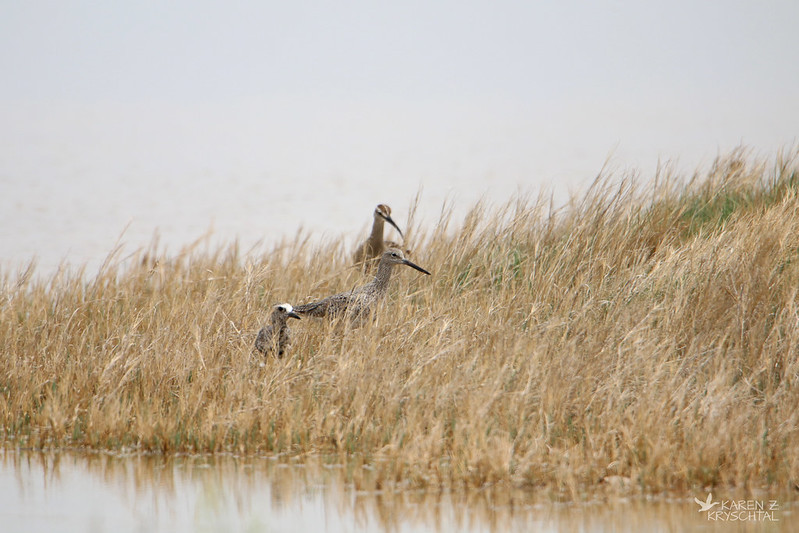 IMG_4365Black-BelliedPloverWilletAndWhimbrel