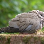 Collard Dove resting on our garden wall