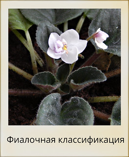По способу выращивания фиалок люди делятся на два типа - корешки и черешки.  К какому типу относитесь вы? | HoroshoGromko.ru