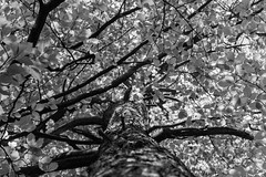 Arbre et Feuilles - Photo of Bournonville