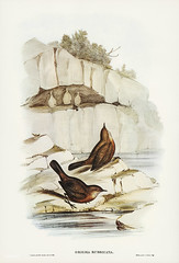 Origma rubricata (Rock Warbler) Illustrated by Elizabeth Gould (1804–1841) for John Gould's (1804-1881) Birds of Australia (1972 Edition, 8 volumes). One of the most celebrated publications on Ornithology worldwide, Birds of Australia introduced more than