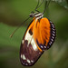 Hecale's Longwing