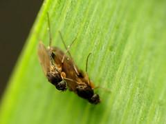 Scuttle Flies Mating