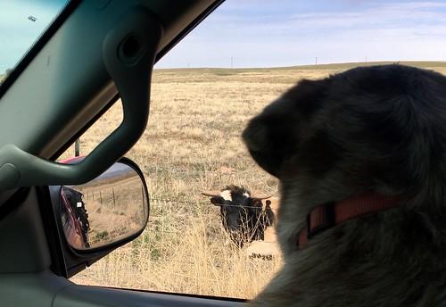 Steer Sighting