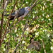 Common Cuckoo (Cuculus canorus) and Meadow Pipit (Anthus pratensis)