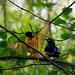Village Weaver & Superb Starling