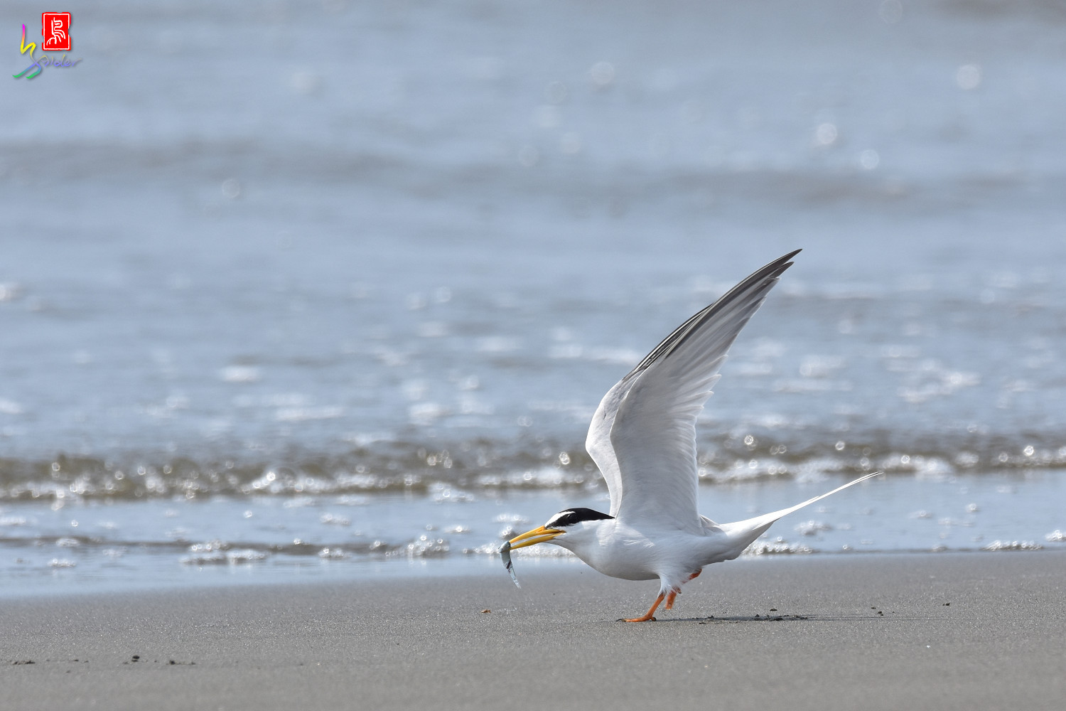 Little_Tern_3980