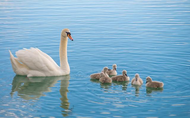 swan's family (06)