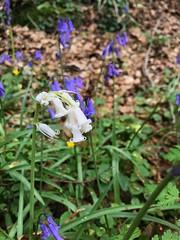 Albino Bluebells.