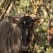 Wildebees 2