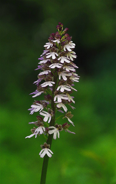 A fully open Lady Orchid in a woodland clearing - Orchis purpurea.