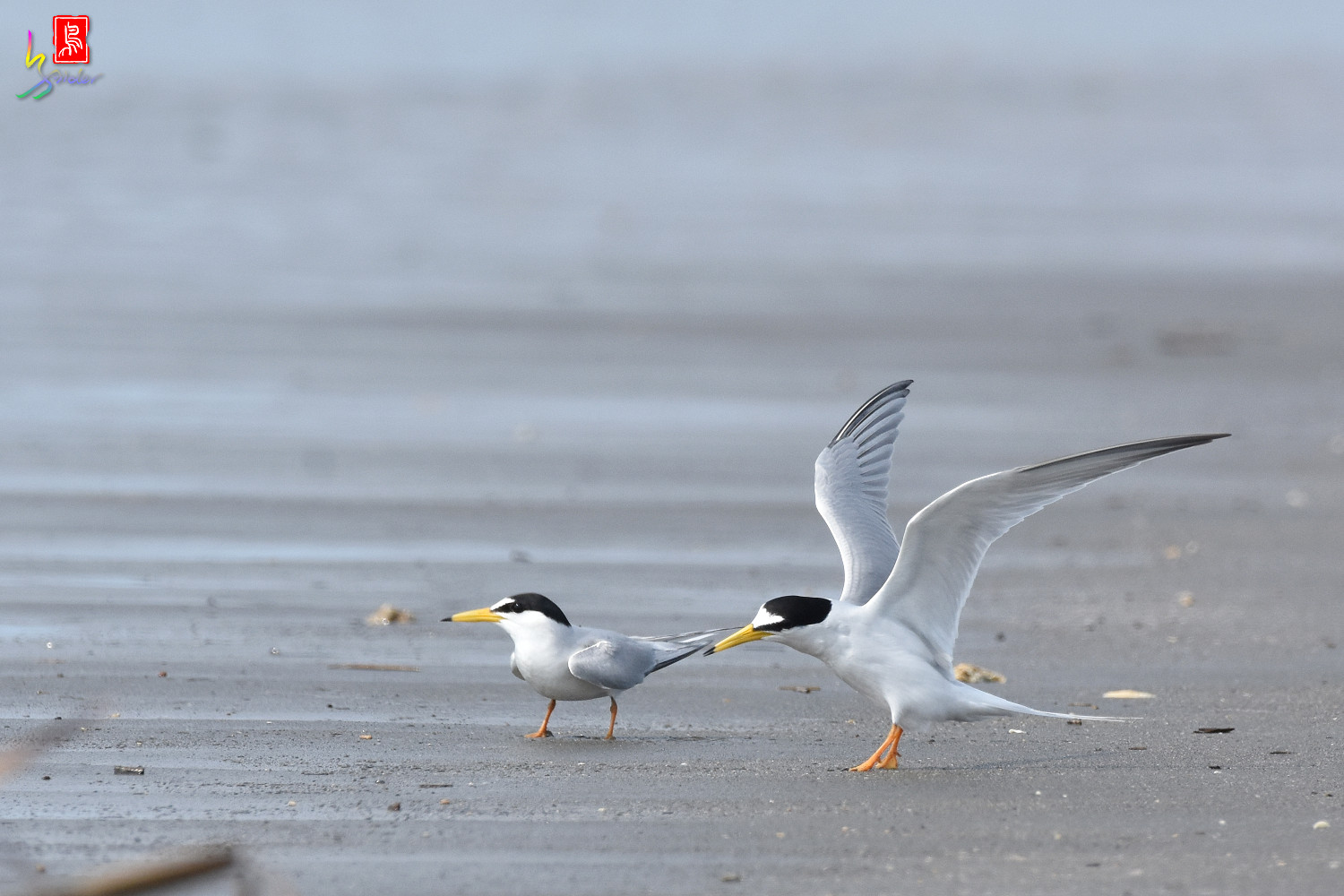 Little_Tern_4359