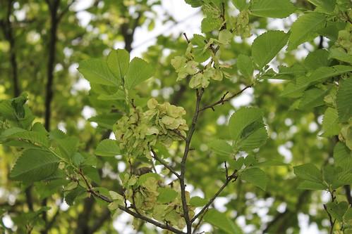 Ulmus minor (= Ulmus campestris) - orme champêtre et hybrides x hollandica  41404365574_17a3d97fd5