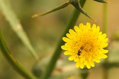 Native bee on non-native dandelion