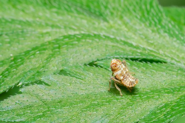 Leafhopper Nymph (Coelidia olitoria), Nikon D750, AF Micro-Nikkor 105mm f/2.8