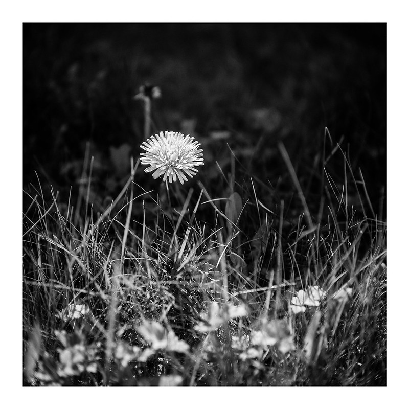 FILM - Dandelion