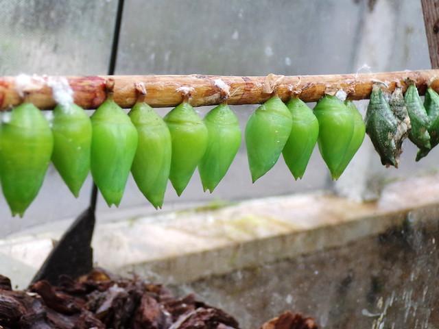 HortusButterflies2