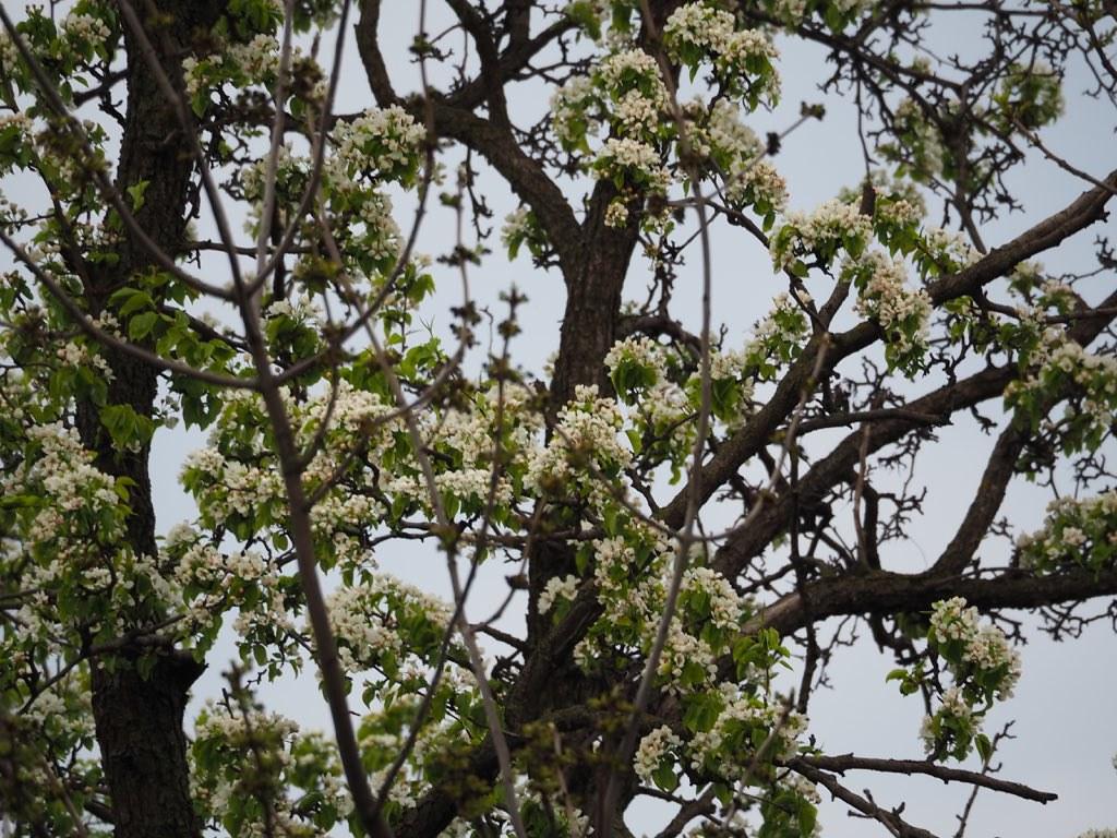 Яблонев цвет 2