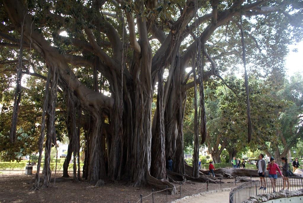 Un des très grands ficus du Jardin Garibaldi à Palerme.