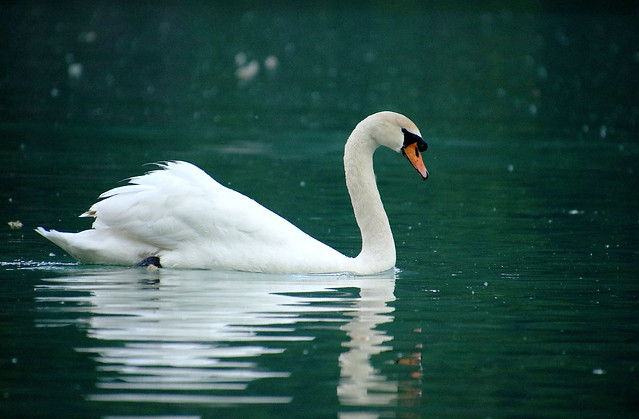 Swan 08052018