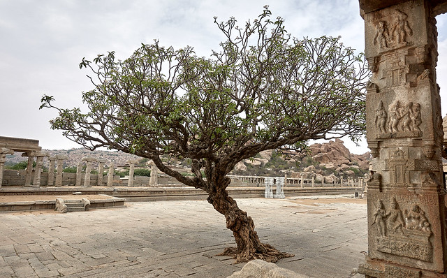 Plumeria tree at Vittala temple