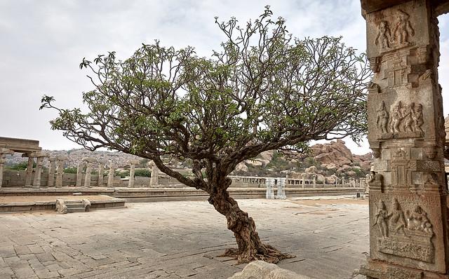 Plumeria tree at Vittala temple