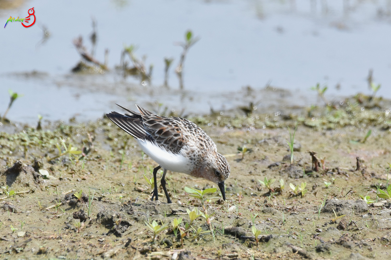 Red-necked_Stint_5764