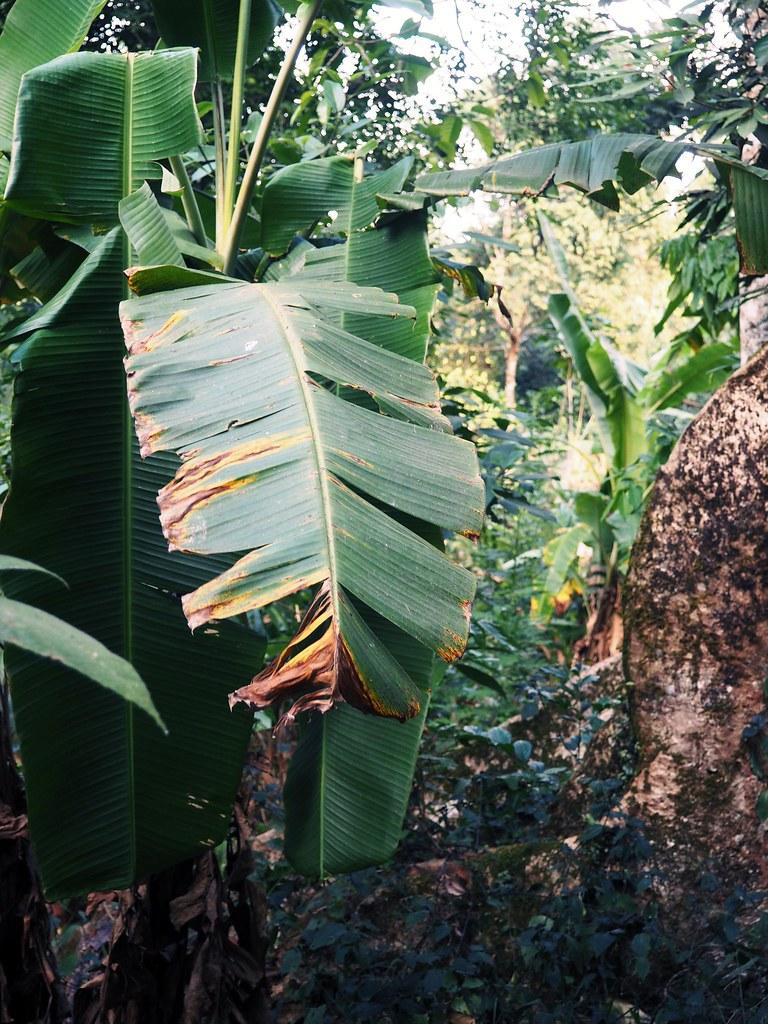 Burnt Banana Leaf Munnar Kerela India Travel Guide Tips_effected