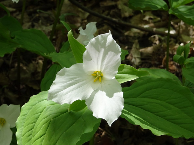 Always Searching for the Perfect Trillium Shot