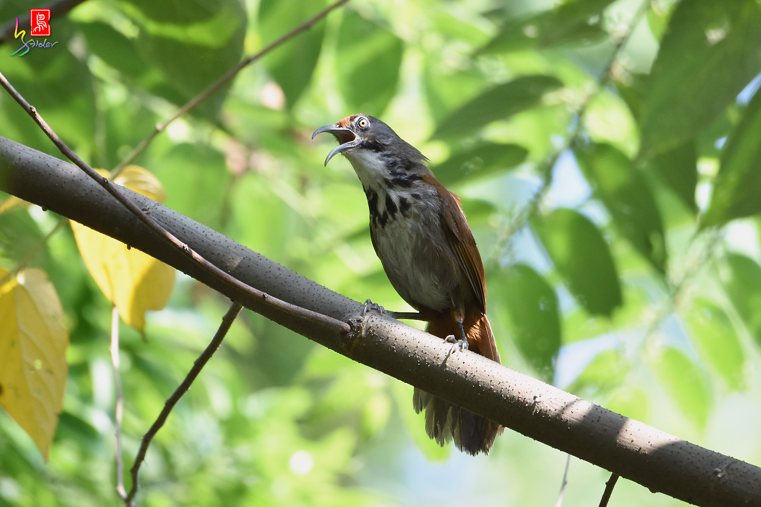Rusty-cheeked_Scimitar_Babbler_8135