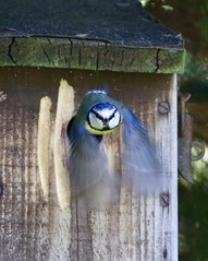 Blue tit emerging from Box