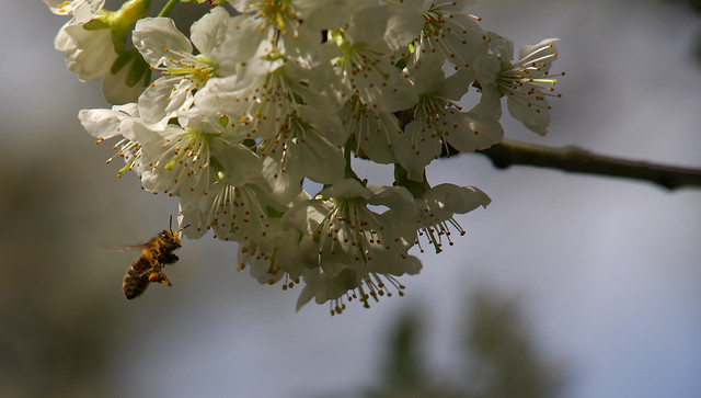 Bees and lossom [PK1_4608 c-l-s]