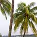 Mexican Coconut Palm Tree por Shane Adams Photography