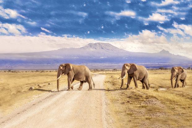 African Bush Elephant or