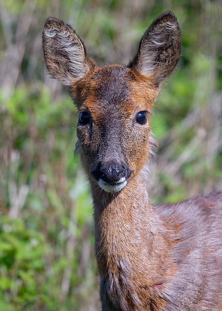 Roe deer - head_2
