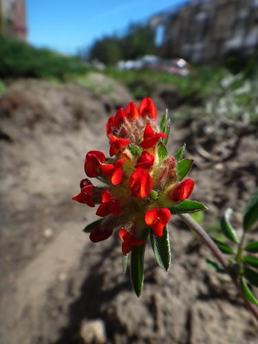 Соцветие Анхиллис (Anthyllis vulneraria)
