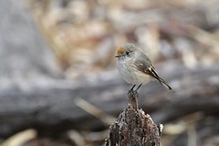 Red-capped Robin ( Female )