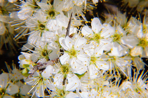 Mass of blackthorn flower in hedge