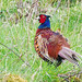 Pheasant !