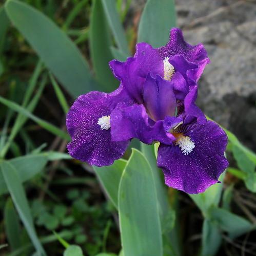 Iris 'Naos' - Jean-Luc Gestreau 2012 28053348178_3879a0b0db