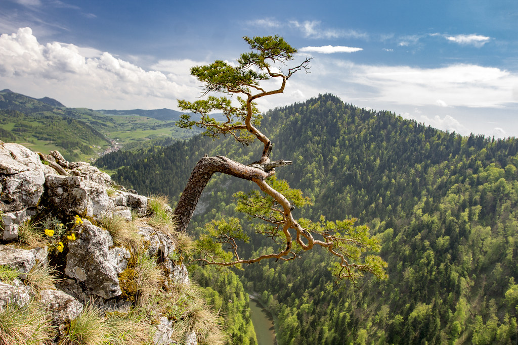 Kinga Pienińska Old Tree on Sokolica Mount  - Pieniny - Poland