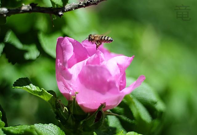 bee flying towards wild rose [explored]