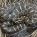 Eastern Massasaauga Rattlesnake by Nick Scobel