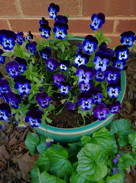 potted violas with native violets at their feet