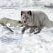 Blue Arctic Fox, Running