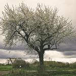 20180425-143915 - Spring Tree