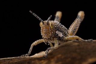 Pyrgomorphinae, Grasshopper, juvenile