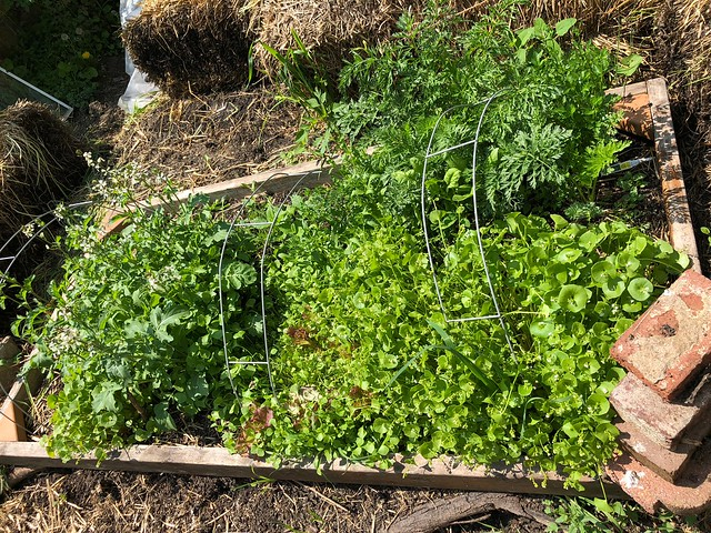 Salad garden is bolting
