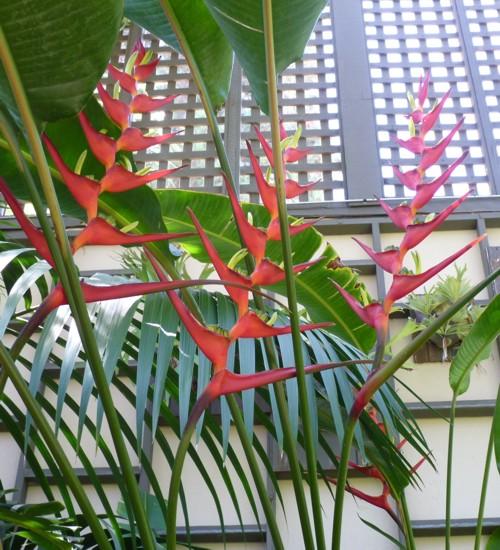 Heliconia latispatha 41333239754_36c786af2d_o