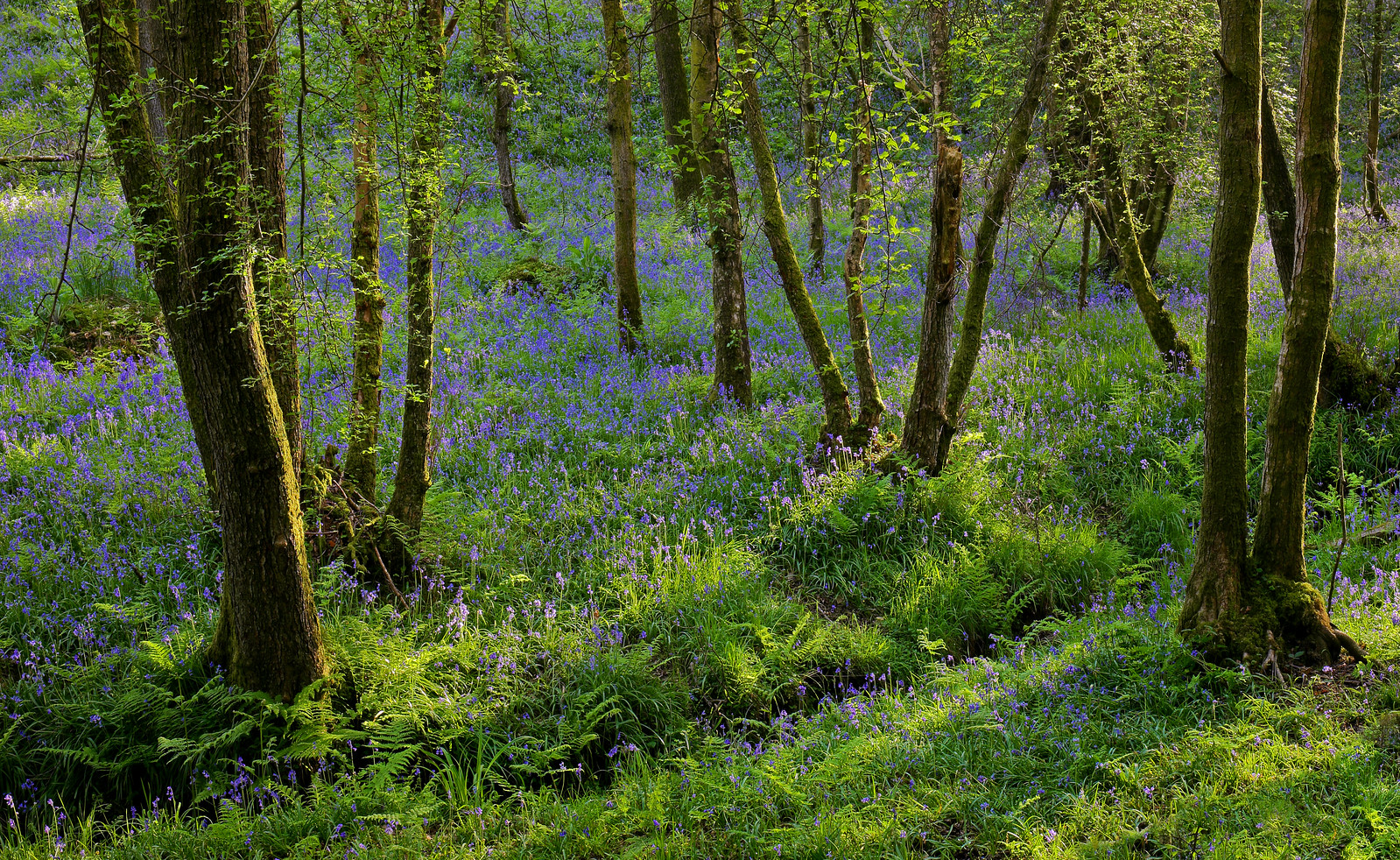 High Weald Bluebells